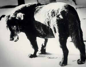 A black and white photo of a dog looking back towards the camera
