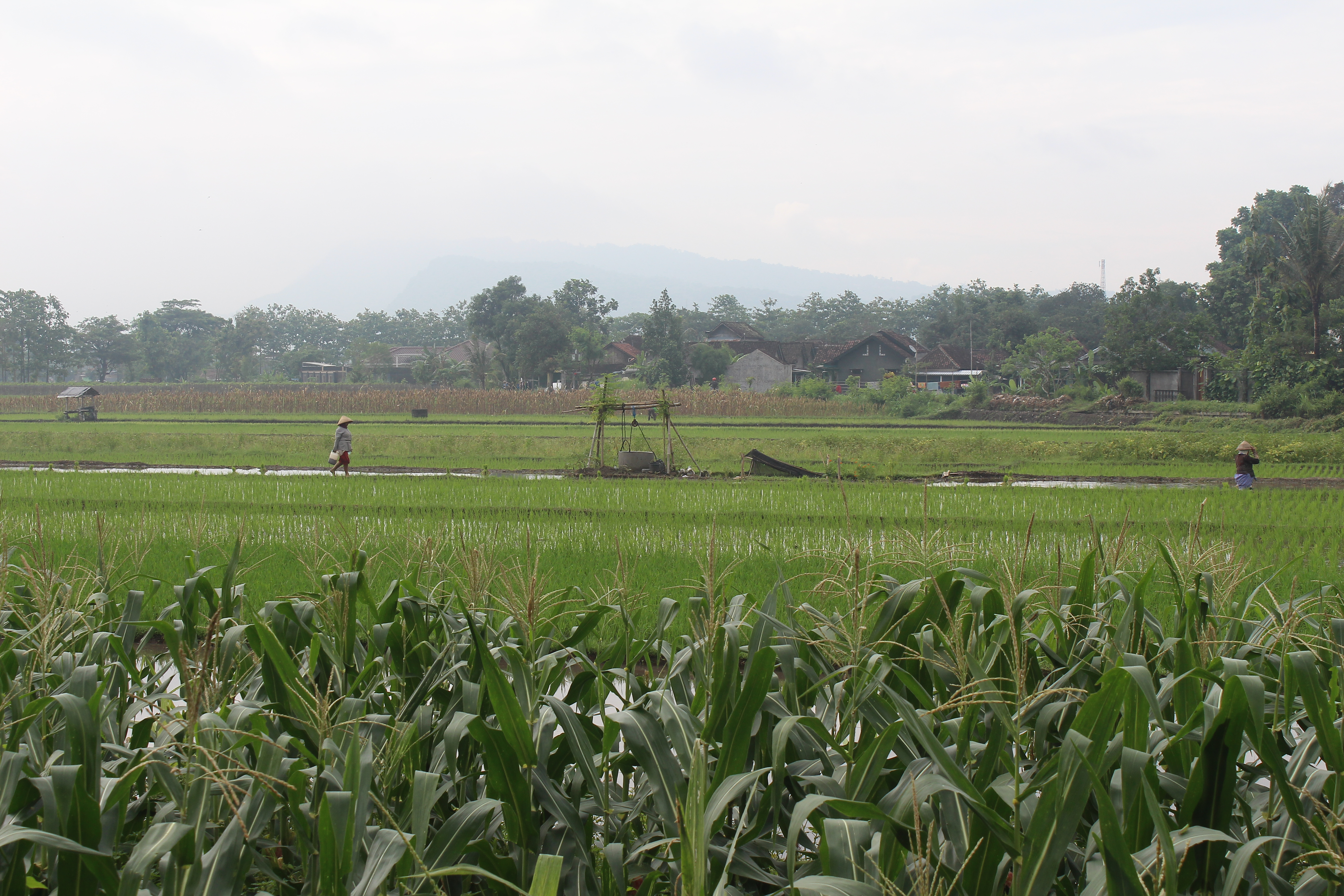Rice fields with farmers