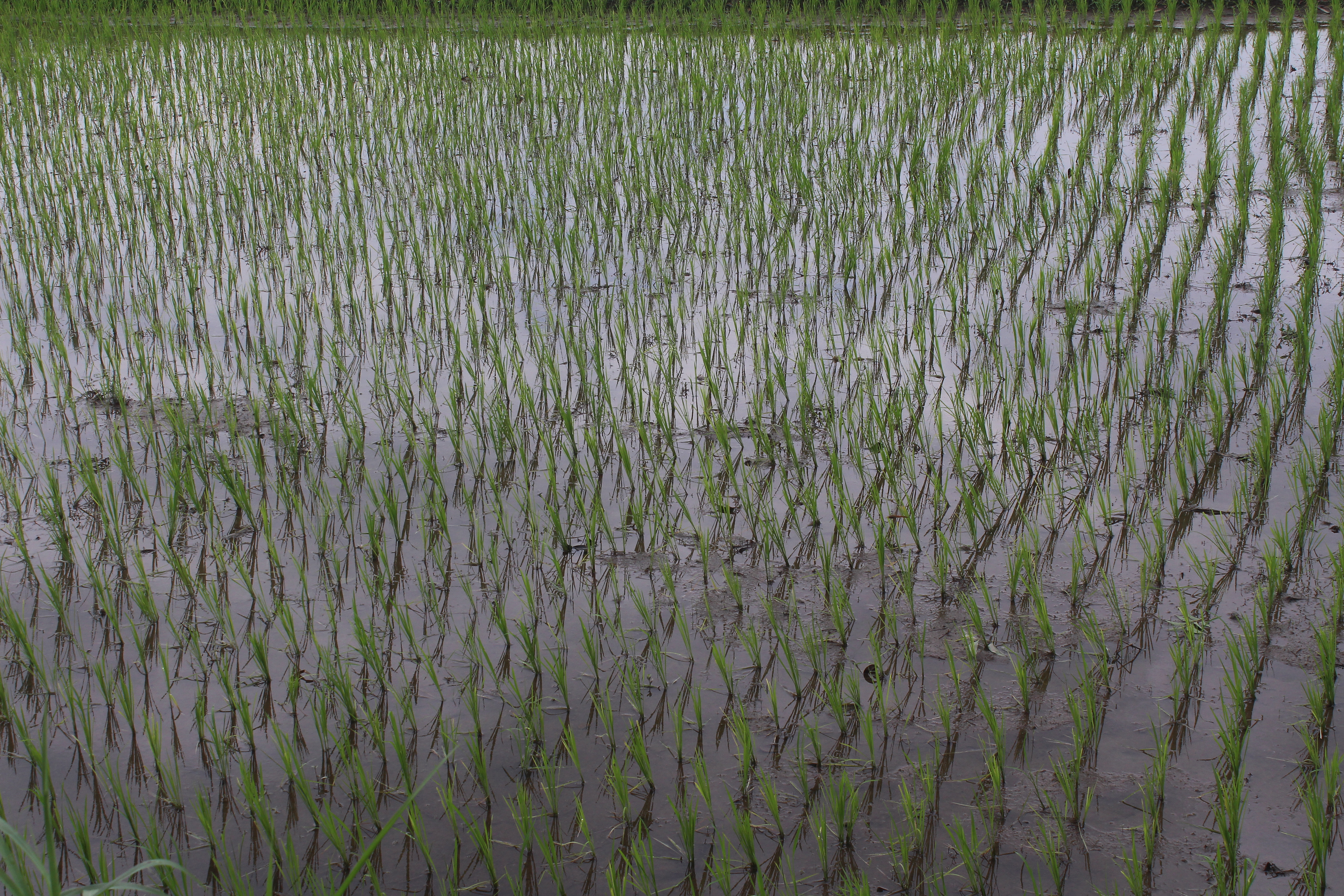 Wet rice paddy close up