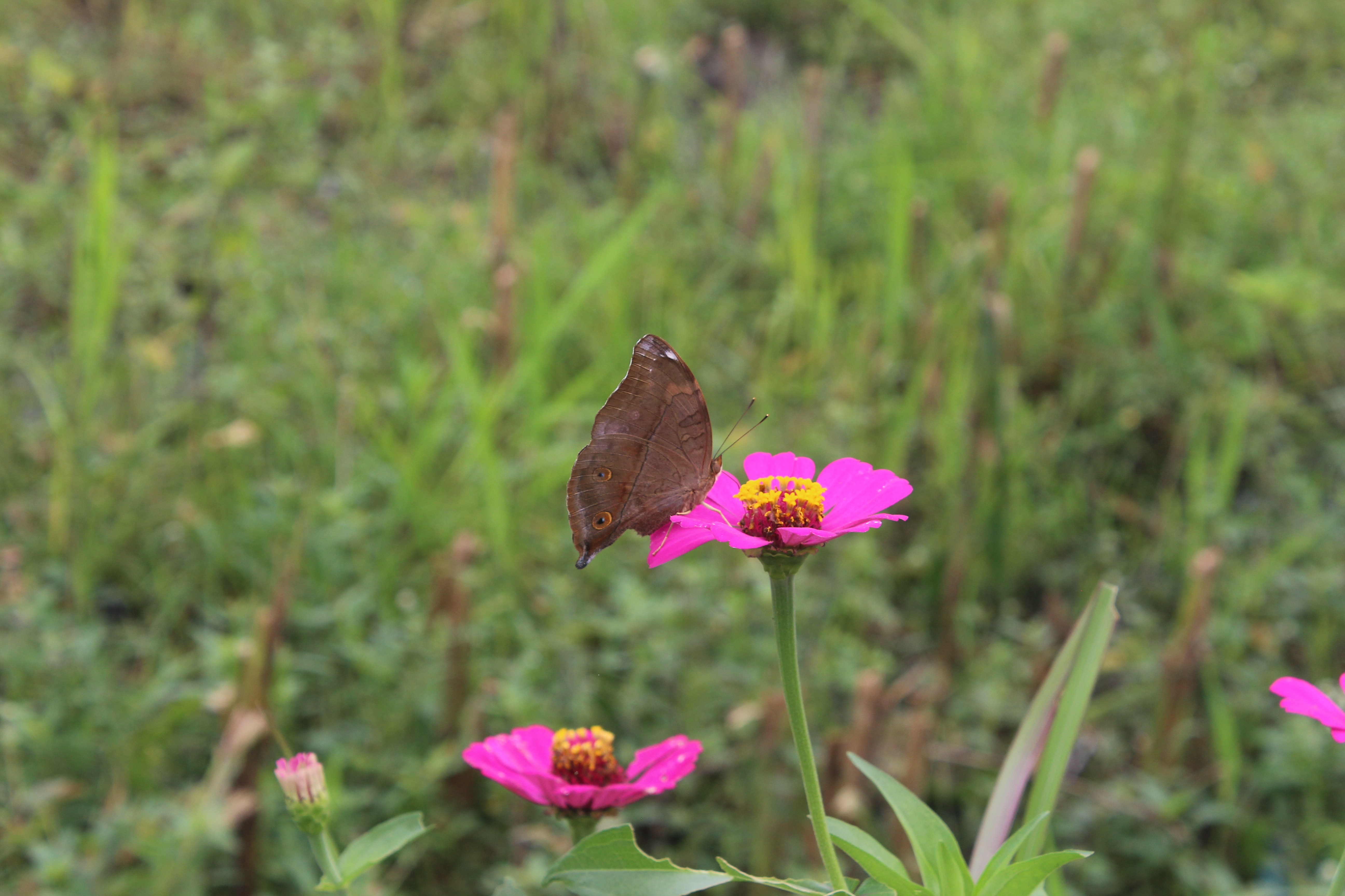 Butterfly on magenta flower